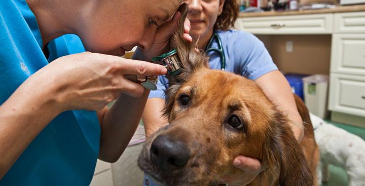 herbs-dog-ear-infection