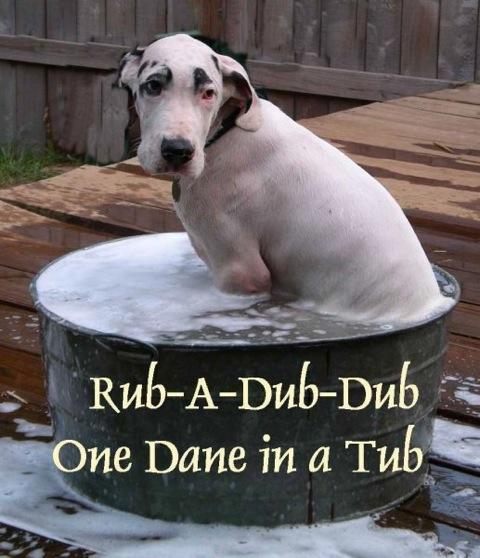 Great Dane in a Tub